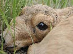 Baby Saiga-Antilop