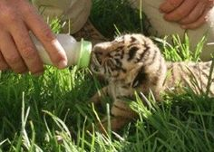 Tiger cub, South Africa | www.frontiergap.com | #southafrica #animals #volunteer