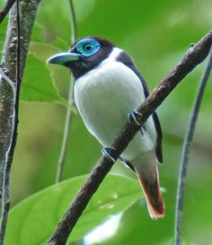Mindanao Wattled Broadbill, Eurylaimus steerii: the Philippines Tropical Birds, Colorful Birds, Animal Photography, Nature Photography, Mindanao, Cool Art Drawings, Horse Pictures, Little Birds, Bird Species