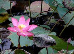 Le Lotus - Une fleur enchanteresse   Paysages et Fleurs au fil de l'eau