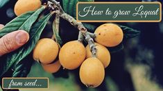 The first fruit of spring. This wonderful and long-lasting tree should not be missing from any garden or yard. It is multiplied very easily and with high success rates. It is worth trying! Good luck!!! Loquat Tree, Seeds, Planters, Success, Yard, Gardening, Fruit, Spring, Youtube