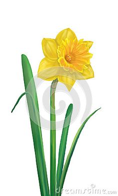 Daffodil flower or narcissus isolated on white background. Yellow Spring flower. Hand Drawing. Digital illustration. For Art, Print, Fashion, Web design.