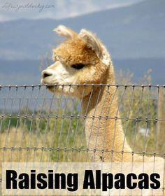 Raising Alpacas - Have you ever thought about adding Alpacas to your homestead? This is a comprehensive list of pros and cons and what you need to know about this cute little alpaca. Check it out and see if they are right for you.