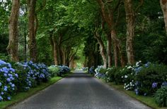 What I wouldn't give to have a driveway lined with big blooming hydrangeas! I might not ever get to the house or to the road.