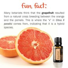 I talked about how much I love Grapefruit essential oil last week. I had no idea that Grapefruit is a hybrid. The Essential Life, What Are Essential Oils, Essential Oils Cleaning, Therapeutic Grade Essential Oils, Doterra Grapefruit, Grapefruit Essential Oil, All Natural Cleaners, Linen Spray, Doterra Essential Oils