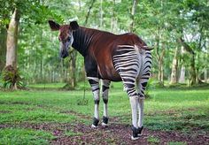 Strange Animals That Start With O Okapi Weird Animals Animals