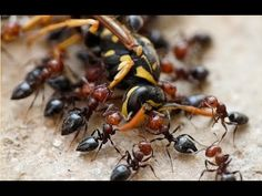 Wasp VS Killer Ants. Ultimate Fight to Death!