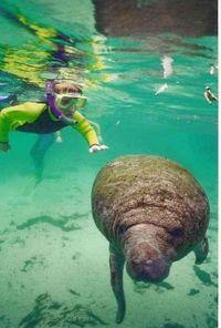 Nado por contra própria com peixes-boi no Crystal River #viagem #turismo