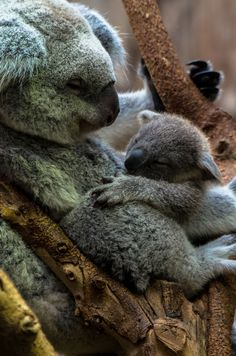 Koala Cuddles by erikvdveer