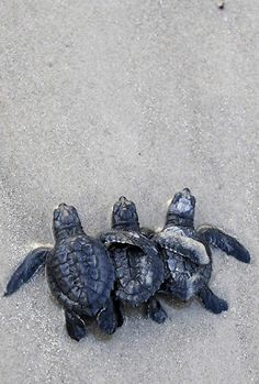 Kemp's ridley turtles being released into the Gulf of Mexico. But first they must be rockettes