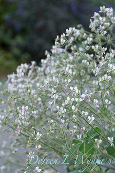Pelargonium tomentosum_3718