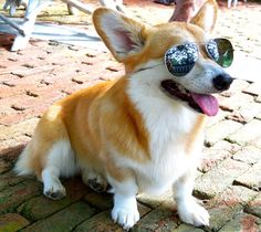The Supper Model: Crabs, Corgis, & Crazy-Lazy Summer Days    Ray Ban for pets, modeled by Dutch    http://thesuppermodel.blogpsot.com