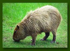De Capybara