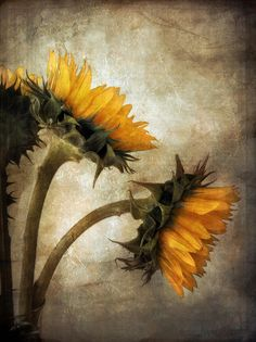 sunflowers john rivera - Google Search