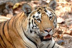 Tiger! Tiger! One of India's 1,400 tigers in a safari park | FATHOM