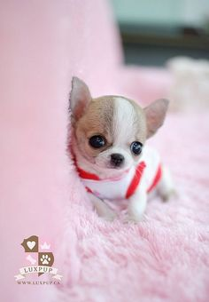 Teacup Chihuahua born in Paris, France