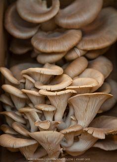 Oyster Mushrooms http://wildmushroomcelebration.com/