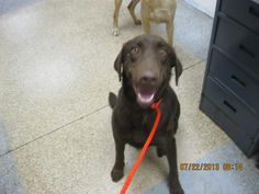 This DOG - ID#A729451  I am a neutered male, chocolate Labrador Retriever.  The shelter staff think I am about 2 years and 6 months old.  I have been at the shelter since Jul 22, 2013.