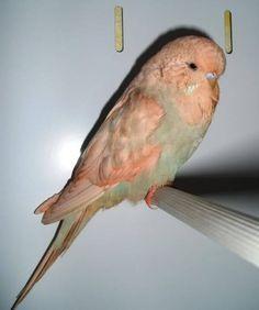 Quaker Parakeets As Pets :-D Parakeets As Pets, Budgies Parrot, Budgie Parakeet, Cockatiel, Cute Birds, Pretty Birds, Small Birds, Beautiful Birds, Australian Parrots