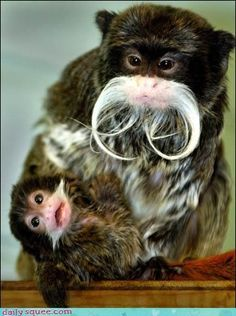 Emperor Tamarins Should Win Every Moustace Pageant