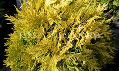 """Annas Magic Ball Arborvitae - A Proven Winners plant. 10"""" - 15"""". Small, round evergreen shrub, the needles have yellow gold tips. Creates a spot of color in a landscape design or plant in containers."""