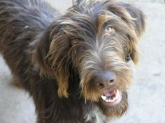 Tilly ~ German Wirehaired Pointer Pup ~ Classic Look ~ 9 months