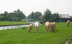 koeien in de wei op zuidbeveland