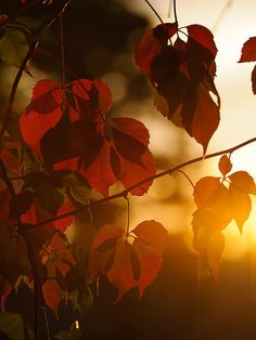 cascading-leaves:    The first red leaves in the sunset #1 by JoergBoerg on Flickr.