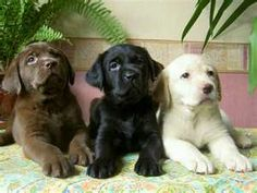 Chocolate Black and Yellow Lab Puppies....I have had the black and now have the yellow...they are the best....my daughter has a chocolate one.....