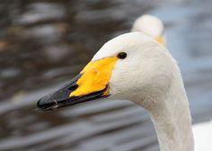 Swan, Bird, Animals, Swans, Animales, Animaux, Birds, Animal Memes, Animal
