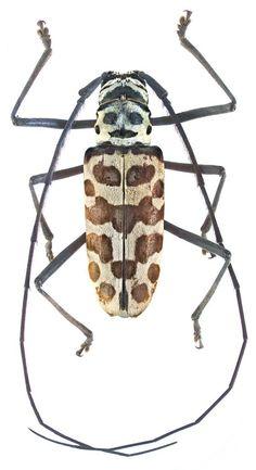 Longhorn Beetle, Tattoo Drawings, Moth, Bugs, Butterfly, Beetles, Curiosity, Board, The World