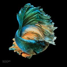 "betta fish, siamese fighting fish ""Half moon"" isolated on black background"