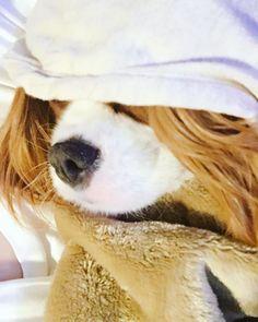 ギャルみたいやな😂  #弟 #キャバリア#cavalier #キャバリアキングチャールズスパニエル #ブレンハイム#blenheim #トニー #わんわん物語 #ディズニー#disney #愛犬#petdog #看板犬#signboarddog  #instadog#dog