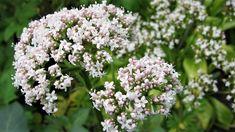 Řepík lékařský (Agrimonia eupatoria) má hojivé a dezinfekční účinky, zvyšuje imunitu a léčí problémy s trávením. Sběr a sušení řepíku. DIY tinktura a mast.