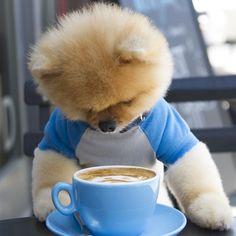Jiff the Cutest Little Pomeranian Dog