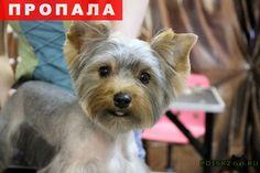 Пропала собака г.Севастополь http://poiskzoo.ru/board/read24016.html  POISKZOO.RU/24016 Пропала собака, Йоркширский терьер, девочка по кличке Жузи .. месяцев просим вернуть за вознаграждение  РЕПОСТ! @POISKZOO2 #POISKZOO.RU #Пропала #собака #Пропала_собака #ПропалаСобака #Севастополь