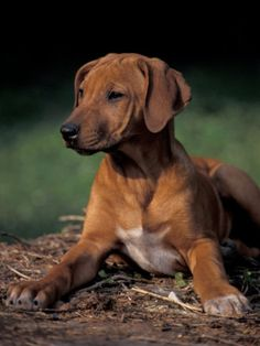 Rhodesian Ridgeback Puppy by van Adriano Bacchella. Rhodesian Ridgeback dog art portraits, photographs, information and just plain fun. Also see how artist Kline draws his dog art from only words at drawDOGS.com #drawDOGS http://drawdogs.com/product/dog-art/rhodesian-ridgeback-dog-portrait-by-stephen-kline/ He also can add your dog's name into the lithograph.