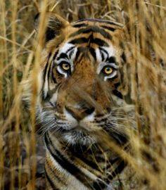 El rugido del tigre vuelve a sentirse en la India - La Razón digital