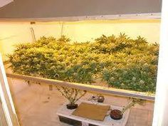 Growing marijuana with the 'Screen of Green' SCOG method What is Screen of Green? Screen of Green, or SCROG, is one of the most productive systems for growing weed that there is. Cannabis plants are trained through a horizontal screen placed above them, spreading the tops of the plants along a horizontal plane and encouraging... Read More