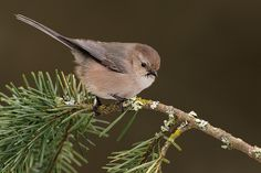 Bushtit - always flies in small flocks group, buzzing from shrub to shrub.  Saw in shrubs at your old front door!