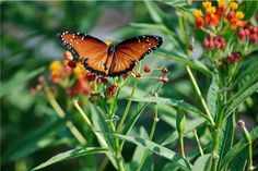 Scarlet milkweed is a champion for butterflies!