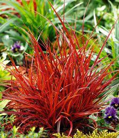 Nice Die zierlichen Halme des Mahagonigras schimmern in wundersch nen rotbraunen Farbschattierungen Der kompakte dichte Wuchs sorgt f r spannende Effekte