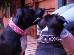 Lara in Pink on Baby Pink and Lexie in Black on Pink Single Spike two Stud collars