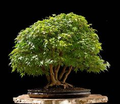 Japanese maple by Walter Pall, stunning! #bonsai