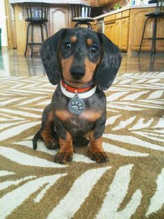 Dachshund of the Month - (Entry 5)- Submitted by thisisacityfornotsleeping