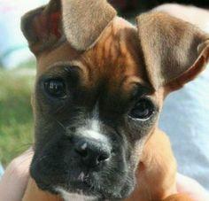Boxer pup xx