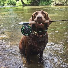 Gone fishing! 🐟🐠🐡 #findingNemo #gonefishing #Saturday Thank you for sharing your photo @nellithechocolatelab and congratulations on the feature! 🐾 #chocolatelab #chocolate #fun #labradorretriever #lab #labrador #cute To share a photo with us, use our hashtag #TalesOfALab 🐾 Chocolate Lab Puppies, Chocolate Labs, Chocolate Labradors, Labrador Retriever Dog, Labrador Puppies, Brown Labrador, Corgi Puppies, I Love Dogs, Cute Dogs