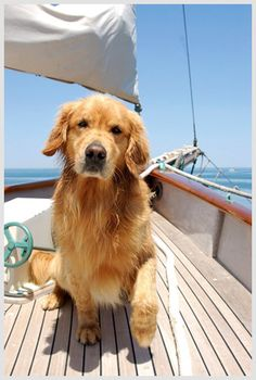 a golden retriever on a sailboat