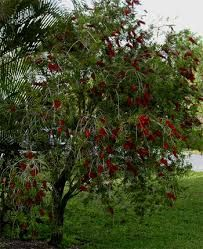 Bottlebrush Shrub Crazy Cool Flowers I Like This Photo Trained To Look Like A Tree Not A