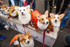 The only thing cuter than a dog is a dog dressed as a taco. Here are the best dog costumes from the annual Tompkins Square Park Halloween Dog Parade. Best Dog Costumes, Dog Halloween Costumes, Halloween Parade, Halloween 2018, German Shepherd Puppies, German Shepherds, Dog Dresses, Corgi, Cute Dogs
